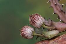 1 TALEA Huernia whitesloanea PVB6997 (near Buffelshoek Blouberg RSA) STAPELIA