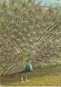 CMI1111 germany animals birds fauna peacock postcard