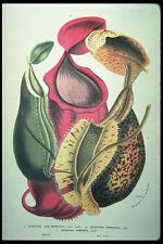 394027 Nepenthes ALBO marginata A4 FOTO STAMPA