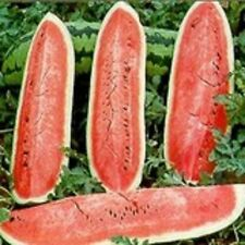 Heirloom Non GMO Watermelon JUBILEE 75 SEEDS Very Sweet Large 40 lbs Average