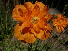 Papaver Alanticum Orange Perennial Poppy 500 Seeds *Shelley aka PoppyQueen👑