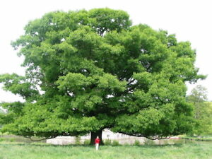 5.ready to  sprout English Oak acorns. Quercus Robur.Limited amount.Plant now