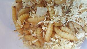 Waxworms live reptile bird food with FREE feeding tongs woth £4.99