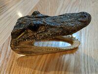 Real Gator Florida Farm Alligator Skull Head Taxidermy 5 Inches Long Genuine