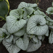 3 Brunnera macrophylla 'Sterling Silver' Pp31280 Heartleaf Siberian Bugloss