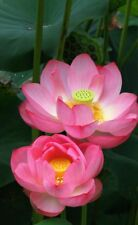 Liveseeds - Mini Peach Bonsai Lotus/ Water Lily Flower /5 Fresh Seeds