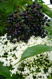 100 Samen Schwarzer Holunder Sambucus nigra