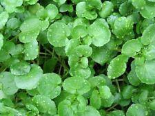 Crescione biologici freschi 800 semi, insalata, verdura, seminare TUTTO L'ANNO INTORNO