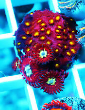 Magician Paly & Jf Bling Bling Cyphastrea Paly Zoa Soft Coral Wysiwyg