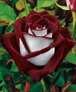 White Blood Rose seeds 10 per pack USA grown & shipped
