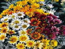 50 Gazania Seeds Talent Mix Seeds Flower Seeds