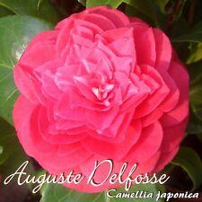 "Kamelie ""Auguste Delfosse"" - Camellia japonica - 3-jährige Pflanze"