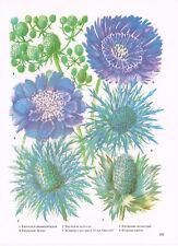 Scabiosa Eryngium Stokesia 1979 Garden Flower Print TOBOGF#155