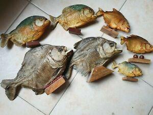 7 Piranha Fische Tier Präparat   38 cm - 16 cm