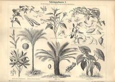 Stampa antica PIANTE ALIMENTARI botanica 1 Yam Cicerchia 1890 Old antique print
