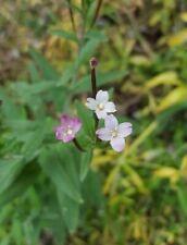 Epilobio  - epilobium parviflorum - 30 semillas - seeds  medicinal bio
