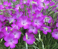 AGROSTEMMA ROSE Agrostemma Githago - 200 Bulk Seeds