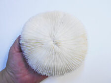"Natural Genuine White Mushroom Coral Home Decor Nautical 5-6"" Aquarium Reef"