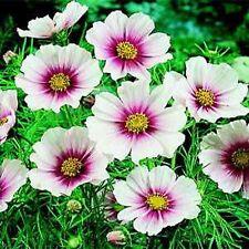 Cosmos Daydream 50 seeds  Garden Seeds 2u