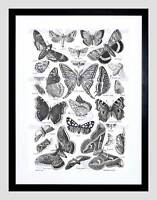 ART PRINT SCIENTIFIC DRAWING BUTTERFLY MOTH BLACK WHITE DRAWING NOFL1041