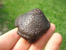 Glossy Black Glyptodon Spike Scute Florida Fossils Osteoderm Bones Armadillo Fl