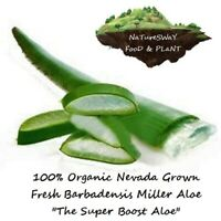 NaTureSWaY ALOE VERA BARBADENSIS Fresh Organic Leaves Medicinal/Skin/Hair 6-16oz