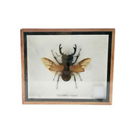 Real Stag Beetle Spread Wings Insect Taxidermy Entomology Display Shadow Box
