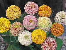 Peppermint Stick ZINNIA Unusual HUGE flowers 50 + seeds