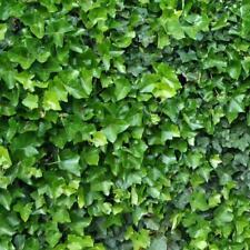 English Ivy (Hedera helix) 50 seeds