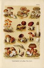1899 MARTIN LITHO poisonous mushrooms: panthercap, stinkhorn, ergot, brittlegill