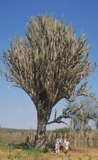Cereus Jamacaru (10 SEEDS) Rare Cactus Samen Korn Graine Semi 種子 씨앗 Семена Graft