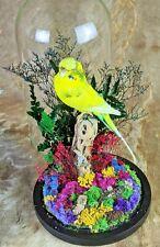 Bd01 Taxidermy Parakeet Bird Specimen Glass Dome oddities curiosities decor