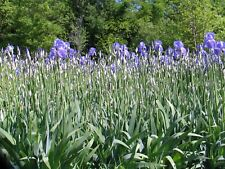 20 Lavender Iris Pallida Rhizome Historic tall bearded - from overgrown beds