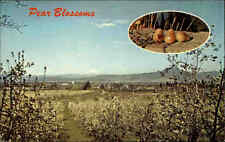 Medford Valley USA POSTCARD ~ 1950/60 Springtime Pear Blossoms MT. MC Loughlin