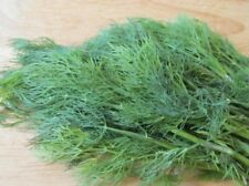 Rare Seeds Dill Gribovsky Organically Grown Fresh Heirloom Herb
