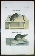 1777 Tennant & Griffiths Antique Print of Common Mouse & Water Shrew