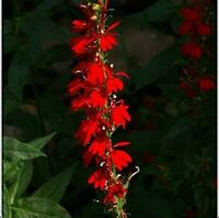 Cardinal Flower- 50 Seeds- BOGO 50% off SALE