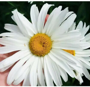 150 x Giant Garden Daisy Chrysanthemum Maximum Perennial Seeds
