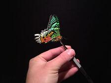 Entomologie / Papillon / Insecte Superbe Urania ripheus A1 de Madagascar!