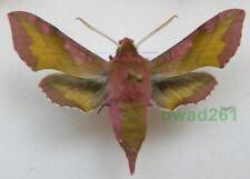 Deilephila porcellus (Linnaeus, 1758) Slovakia