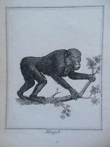 Magot Monkey; c1800 Natural History Engraving, Georgian Nature Animal/Ape Print