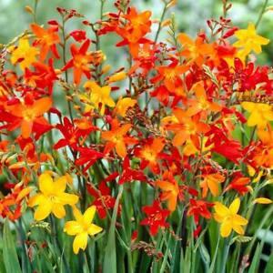 1-50 MONTBRETIA/CROCOSMIA BULBS/CORMS BEAUTIFUL PERENNIAL GARDEN SUMMER FLOWERS