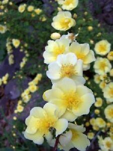 10 Golden YELLOW FATHER HUGO ROSE Rosa Hugonis Flower Seeds *Flat S/H