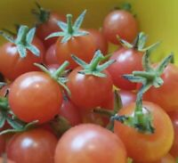 Florida Everglades   Solanum pimpinellifolium   Cherry Tomato   2021   25+ Seeds