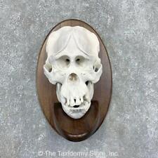 #21590 P | Reproduction Borneo Orangutan Full Skull Taxidermy Mount For Sale