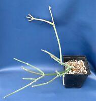 """SARCOSTEMMA SOCOTRANUM IN A 4"""" POT,  SUCCULENT PLANT, #1827"""