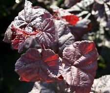 Rotlaubige Korkenzieherhasel Corylus avellana 'Red Majestic'  40 - 60 im Co