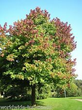 """American workplace Liquidamber Tree, 20 Seeds """"everything only 1 Euro"""""""