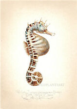 Ocean Sea horse POTBELLY SEAHORSE original LARGE limited edition SIGNED artprint