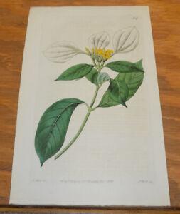 1821 Antique COLOR Floral Print///DHOBI TREE, or, MUSSAENDA FRONDOSA